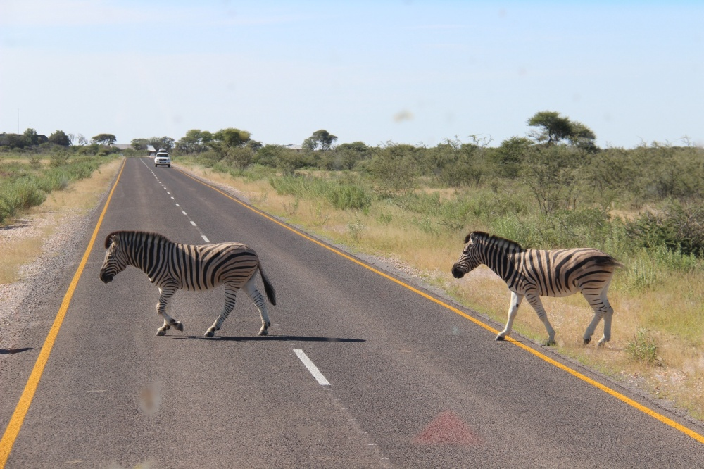 Zebra crossing (courtesy of Laura Grigg)
