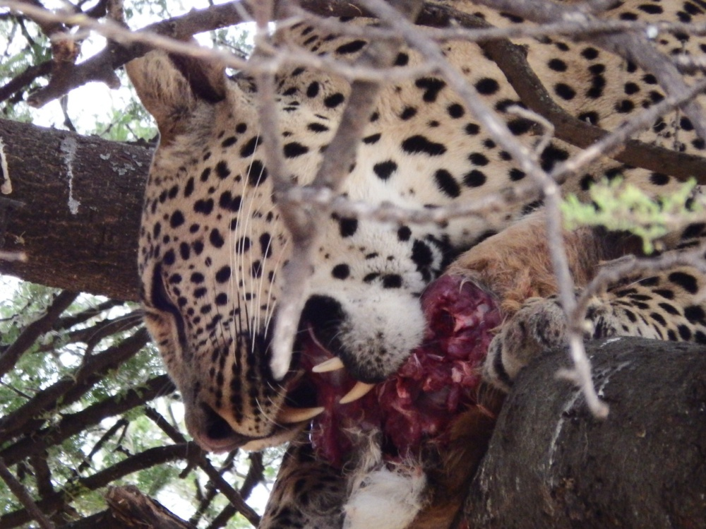 Feeding leopard (courtesy of Ross Landler)